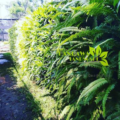tanaman pakis sangat bagus di pasang di taman vertical garden