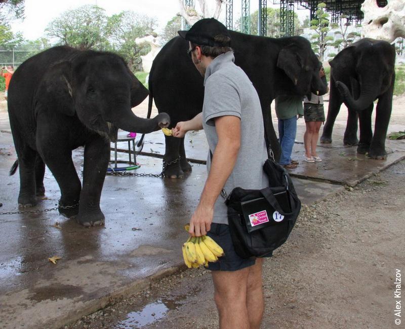 Слон ест бананы