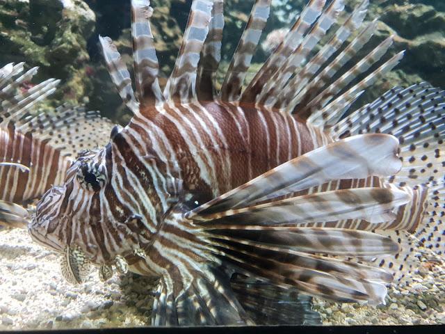 דג זהרון באקוואריום