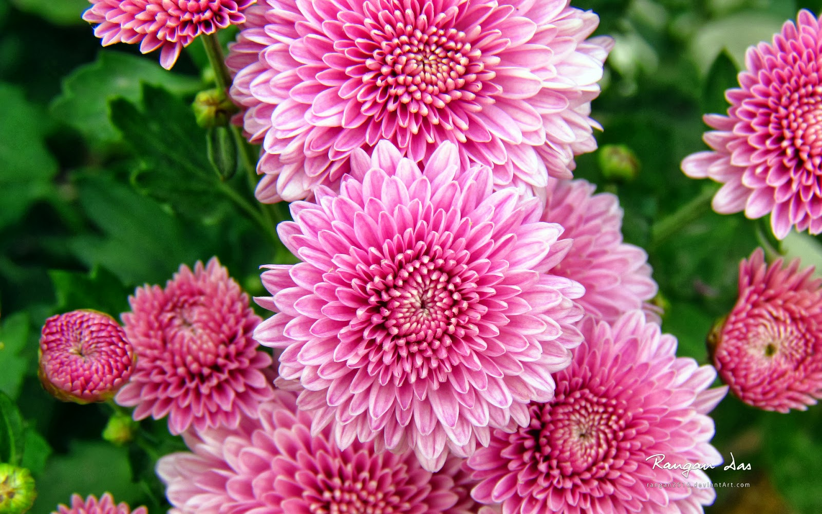 Romantic Flowers Chrysanthemum Flowers