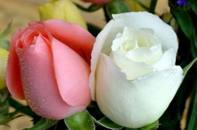 Cute White Roses Wallpapers HD