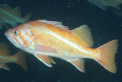 Bocaccio rockfish  Facts, Behaviour, Habitat, Lifespan, Identification