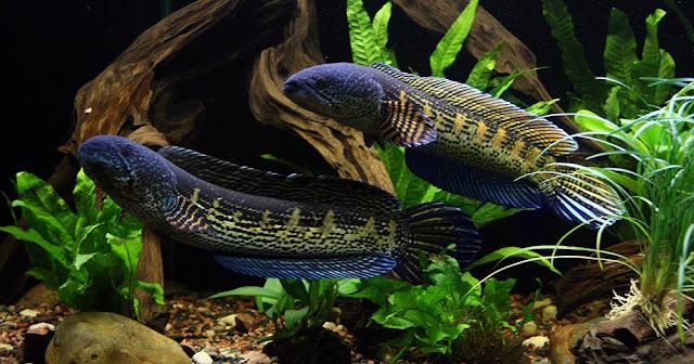 Mengenal Ikan Channa Auranti, Jenis Ikan Gabus Yang Populer