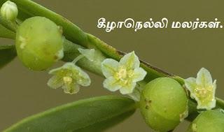 Phyllanthus amarus flower