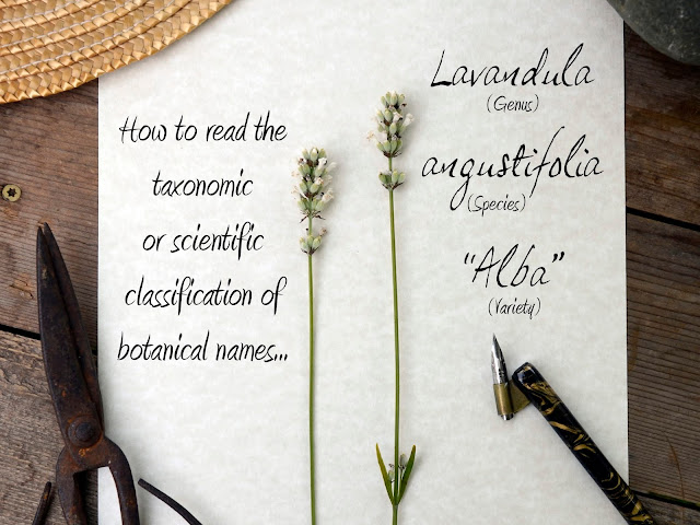 How to read scientific plant names of lavender