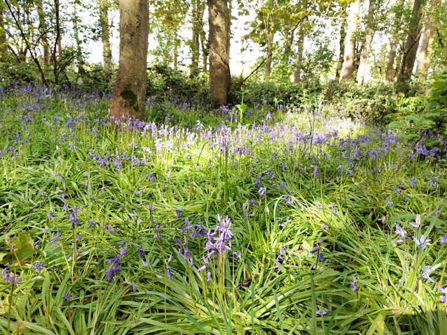 Closer picture of bluebells flowering in the woods