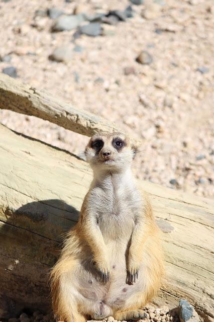 ミーアキャット 広島市安佐動物公園 おっさん座り