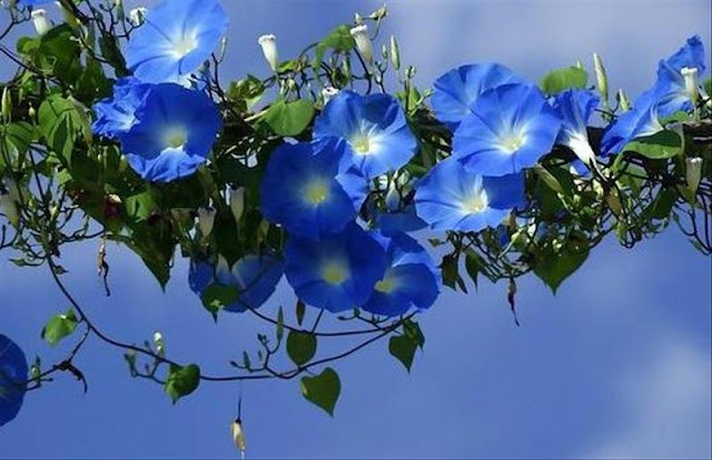 Morning Glory – Heavenly Blue