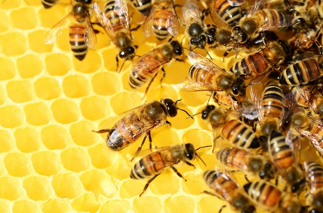 way to grow food for bees,How to grow food for your bees,How to feed bees,how bees live,bees,honey bees