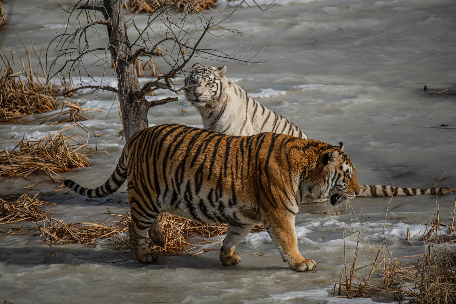white-and-yellow-tiger-in-water-images