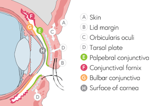 eyelid anatomy diagram