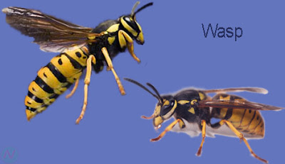 wasp, wasp insect,বোলতা