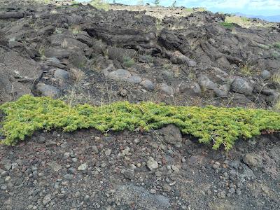 Juniperus communis var. hemisphaerica