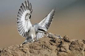 Shrike abu-abu besar
