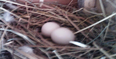 Mengontrol Telur Merpati Saat Pengeraman, Ini Caranya...