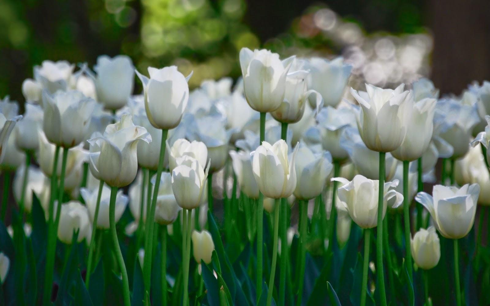 Imagenes de Amor, Flores Blancas, parte 2
