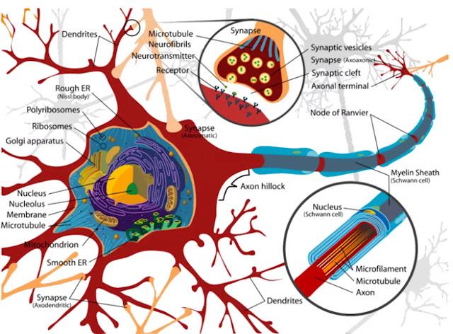 Dendrit adalah ekstensi sitoplasma tubuh sel yang sangat bercabang. Dendrite membantu untuk melakukan impuls terhadap tubuh sel. Dendrit adalah proses aferen karena membawa impuls saraf ke cyton.