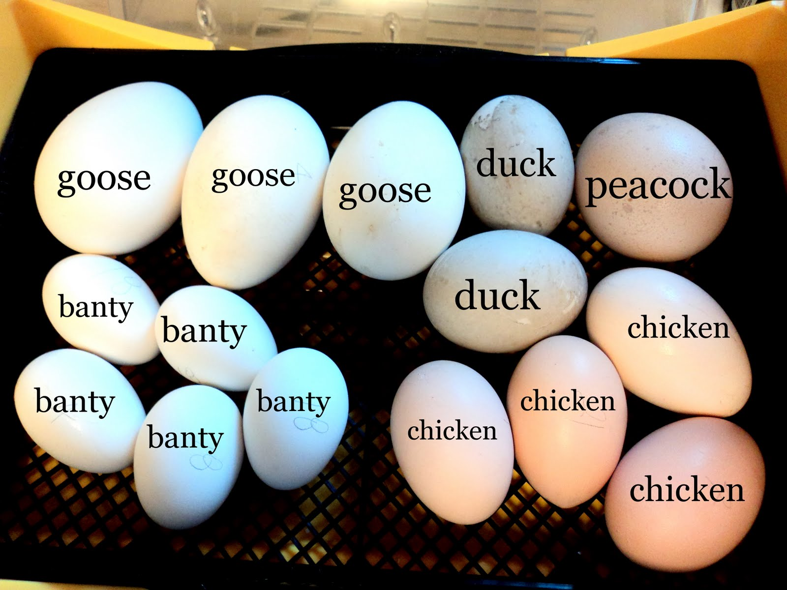 Compare Size Of Eggs Banty Duck Chicken Goose Peacock