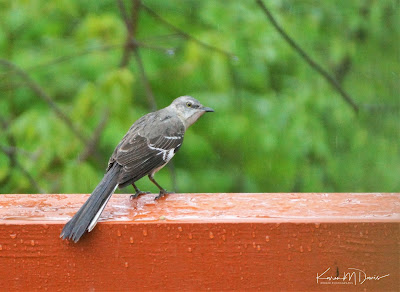 mockingbird in rain