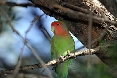 penyakit lovebird yang sering dialami lovebird