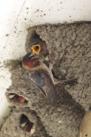 Cliff swallows, Cap Tourmente National Wildlife Area, QC - photo by Cephas