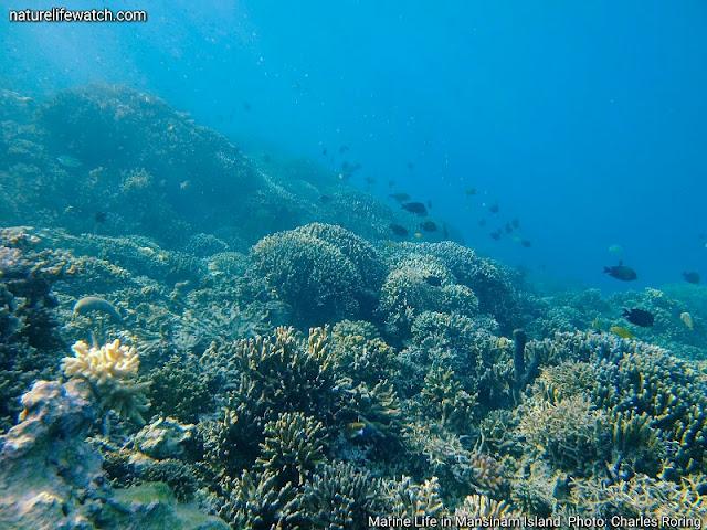 Marine life in Mansinam island