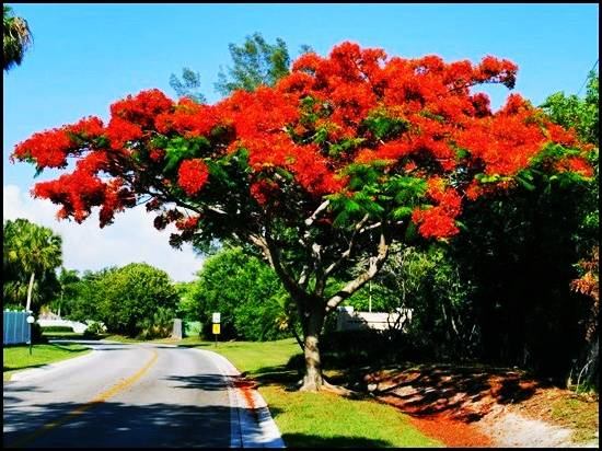 Royal-Poinciana-Tree