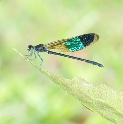 Euphaea subcostalis