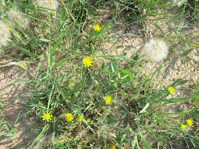 cutleaf vipergrass, Scorzonera laciniata