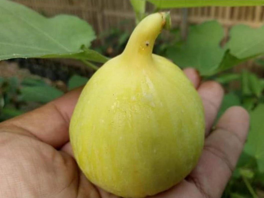 bibit tin cangkok jenis Jin Ao Fen bibit pohon tin jenis unggul buah jumbo Batam