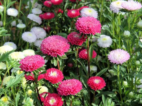 y nghia hoa cuc thuy