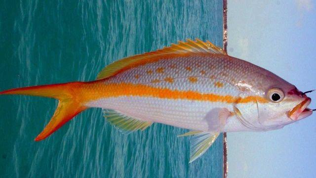 Pembenihan Ikan Ekor Kuning