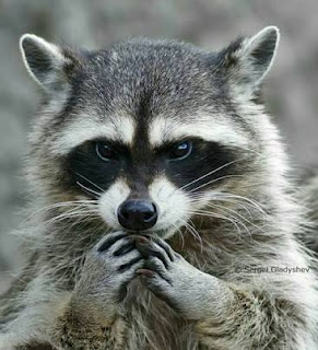Want to Know Why You Have a Raccoon Problem?