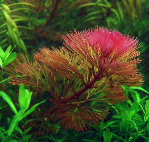 Cận cảnh cây thủy sinh La Hán Đỏ