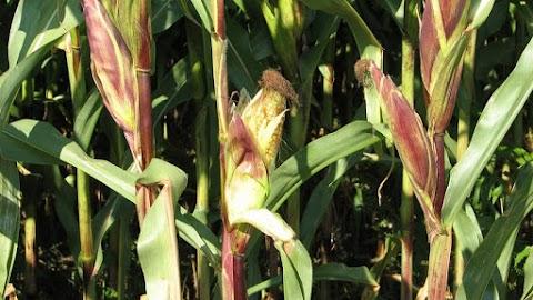 Kukoricásban termesztette a kannabiszt apa és fia Kecskeméten