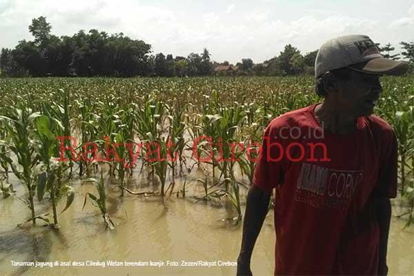 usai banjir petani di cirebon dihantui gagal panen