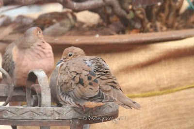 "This image features a pair of Mourning doves perched on a metal stand. The one on the left is very puffed up as birds tend to do to keep warm in cold weather. He is gazing intently at whatever he is seeing.  The one on the right mostly has her back to us revealing her feathers which are beautifully preened but since she is looking over her ""shoulder,"" we can see that she is gazing intently at whatever he is seeing.   Mourning doves are featured in my three volume book series, ""Words In our Beak."" Info re these books is in another post on this blog which is @ https://www.thelastleafgardener.com/2018/10/one-sheet-book-series-info.html"