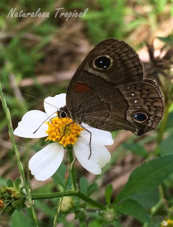 Flor del romerillo siendo polinizado (Bidens alba), maleza