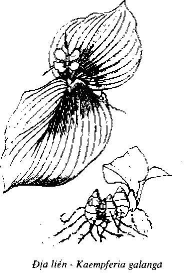 Hình vẽ Địa Liền - Kaempferia galanga - Nguyên liệu làm thuốc Chữa Bệnh Tiêu Hóa