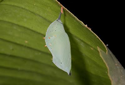 pupa de mariposa siproeta