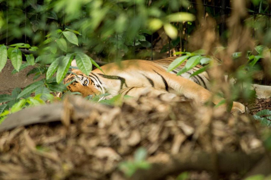 Tiger in Zambales