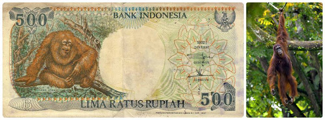 orangutan 500an
