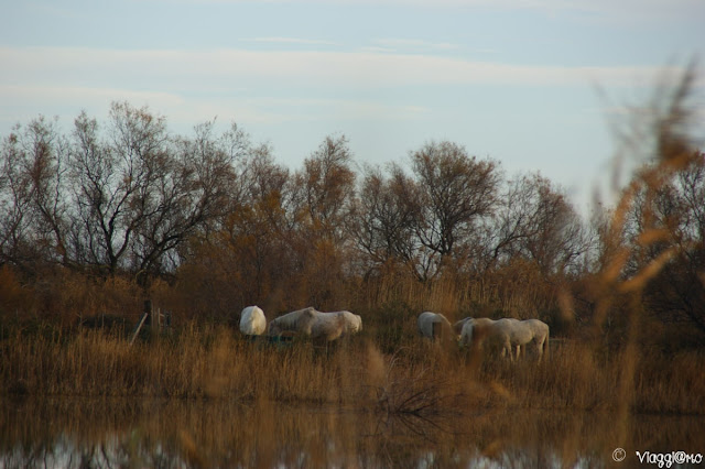 I cavalli Camargue nel tipico paesaggio