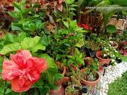 Pokok bunga ros jepun penyeri laman