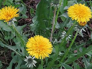 Benefits of leaf Jombang efficacy for body health