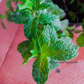 Grow Pudina,Mint at home