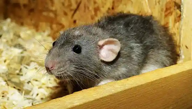 Shocking Facts About Rat in Hindi