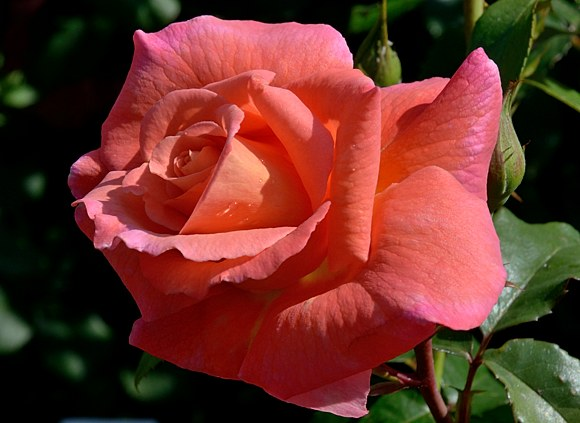 Freisinger Morgenrote сорт розы Кордес фото купить саженцы Минск питомник