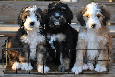 F1 vs F1b bernedoodle Temperament, Size, Lifespan, Adoption