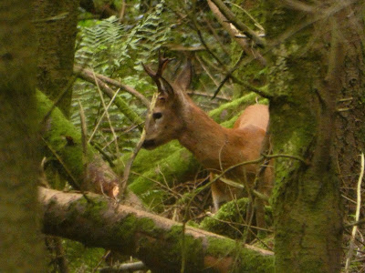 The Roe deer now are hiding at the extreme ends of the wood now. I'd be surprised if there are ten left.